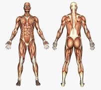 My Muscles - Physio Boronia